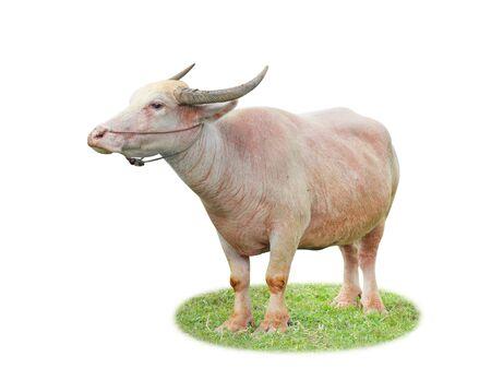 albino buffalo isolated on a white background