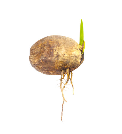Sprout of coconut tree isolated.