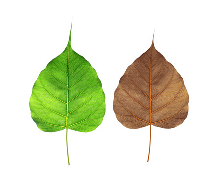 Green and Brown  bodhi leaf  isolated on white background Stock fotó - 88722905