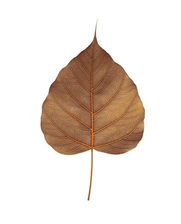 Brown  bodhi leaf  isolated on white background