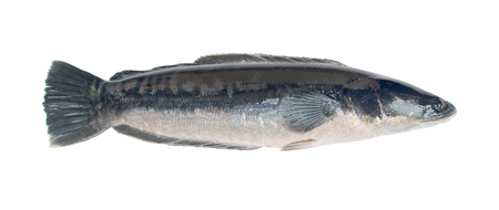 GIANT SNAKE-HEAS FISH,isolated on white background