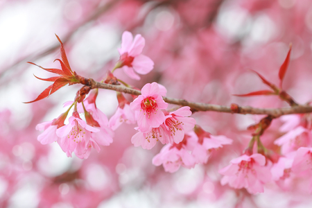 Soft focus, beautiful Wild Himalayan Cherry blossom, Prunus cerasoides in Thailand, Stock Photo