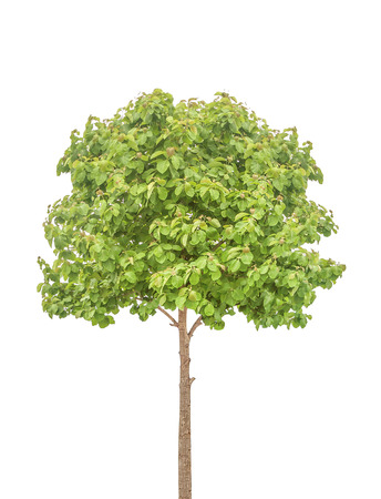 Teak Tree isolated on white with clipping path Stockfoto
