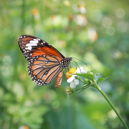 Monarch butterfly seeking nectar on a flower