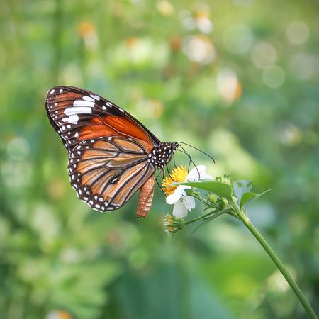 Monarchvlinder die nectar op een bloem zoekt