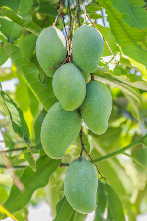 Fresh green mango on tree.