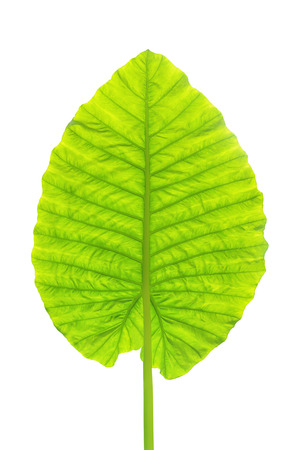 Caladium leaf isolated on white background with clipping path Stock Photo