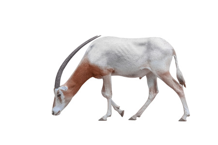Wildlife Africa Scimitar Oryx iisolated on white background. Clipping path included. 版權商用圖片
