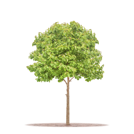 Teak Tree on ground isolated on white with clipping path