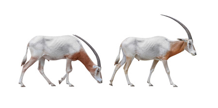Wildlife  Two Africa Scimitar Oryx iisolated on white background. Clipping path included.