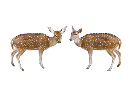 Two Chital or Axis deer isolated on white background with clipping path