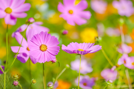 Cosmos flower selective focus with blurred nature copy space background