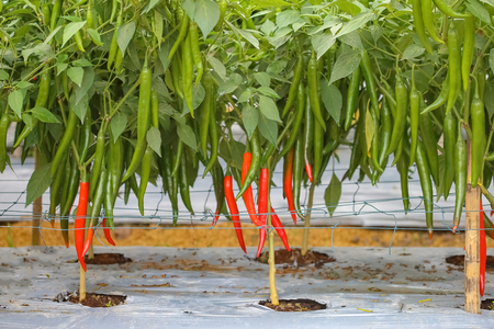 Red chili peppers on the tree in garden agriculture Banco de Imagens