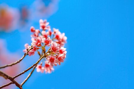 Wild Himalayan Cherry, Sakura Cherry Blossom of Thailand with blue sky.