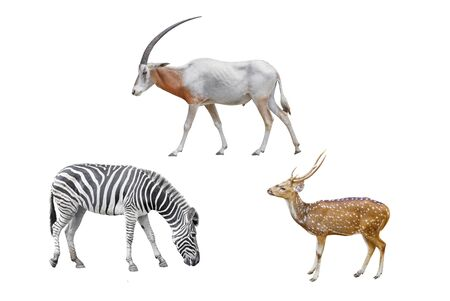 Wildlife   Africa Scimitar Oryx, Axis deer, zebra, isolated on white background. Foto de archivo