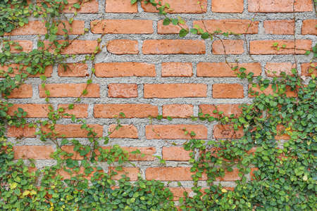 The Green Creeper Plant on the brick Wall background