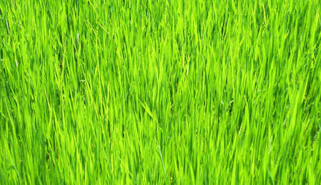 Beautiful rice fields from the background.can be used as background. Stock Photo