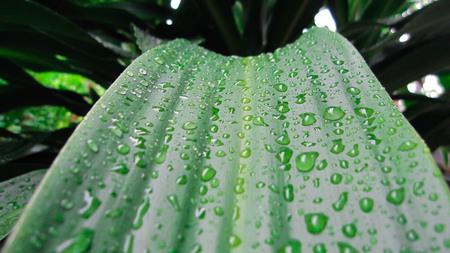 Drops on the green aspen,After a bright rain.