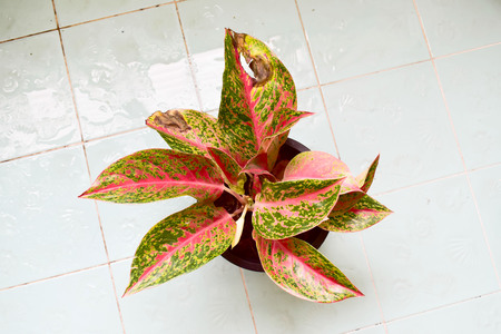 Beautiful aglaonema ornamental Dark pink and green leaves It also has flowers.The leaves of the ornamental plants have a lack of care. Stock Photo