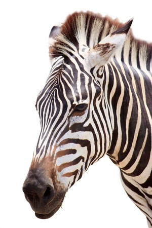 burchell: burchell zebra head isolated on white background  Stock Photo