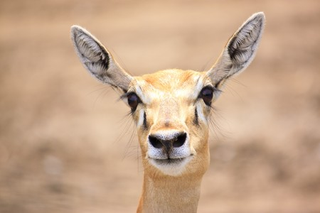 Cute young deer or antelope from a safari zoo staring at camera  photo