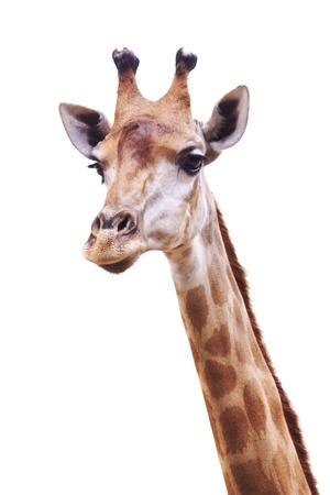 jirafa fondo blanco: Cuello de la jirafa hembra y la cabeza aisladas sobre fondo blanco Foto de archivo
