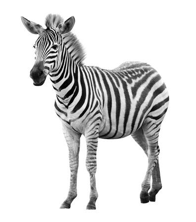 Jonge mannelijke zebra geïsoleerd op een witte achtergrond