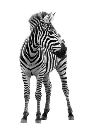 Jonge mannelijke zebra op een witte achtergrond