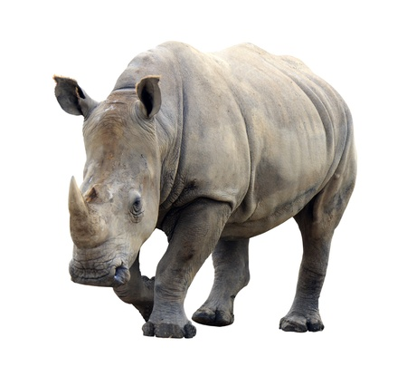 Huge rhino isolated on white background