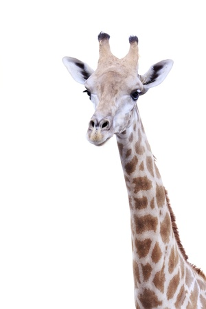 brindled: Female giraffe isolated on white background Stock Photo