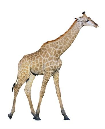 Female giraffe isolated on white background photo