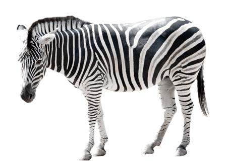 cebra: Zoo sola cebra de Burchell aisladas sobre fondo blanco