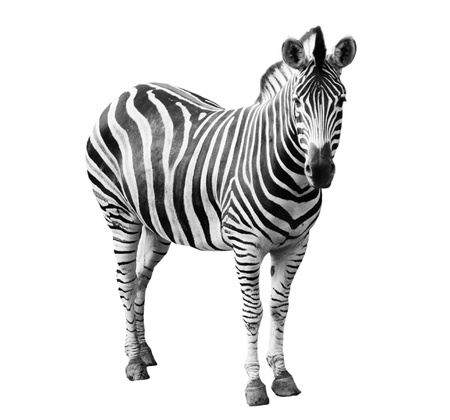 Zoo enkele Burchell zebra op een witte achtergrond