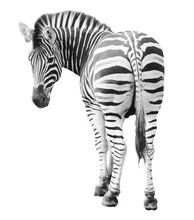 Zoo single  burchell zebra isolated on white background photo