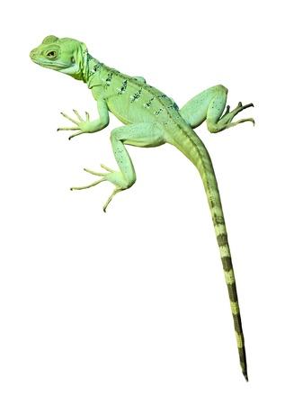 Single colorful green basilisk lizard