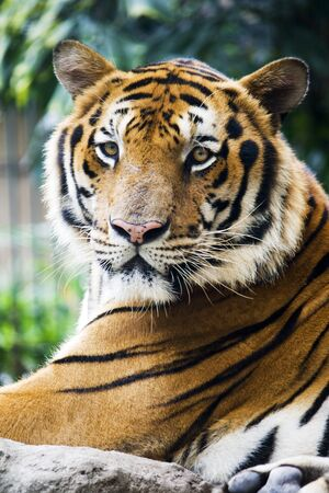 Mature  bangal tiger in a zoo staring at the camer photo