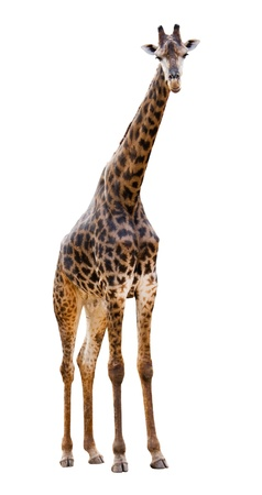 Male giraffe isolated on white background