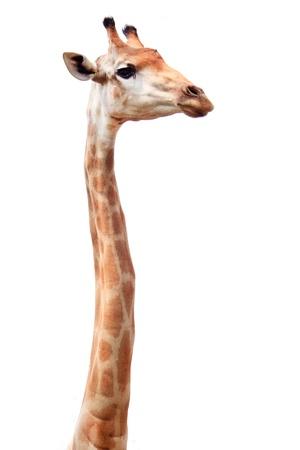 jirafa fondo blanco: jirafa hembra cuello largo aislado en blanco