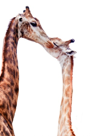 africa kiss: Giraffe kissing each other isolated on white