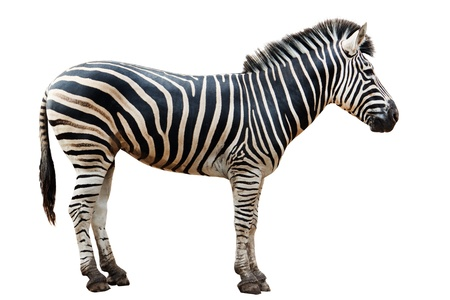 burchell: Zoo single  burchell zebra isolated on white background