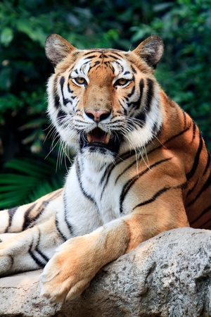 Bengal tiger starring at the camera and roaring  Stock Photo