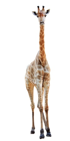 female long neck giraffe isolated on white  photo