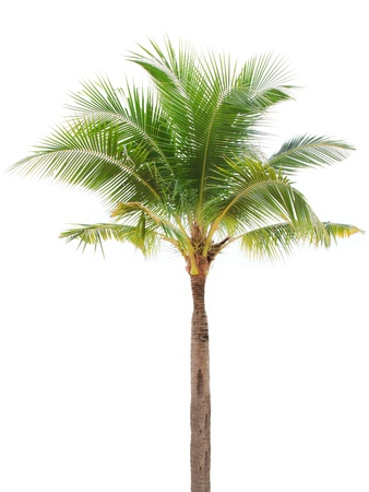 Isolated single coconut tree on white background photo