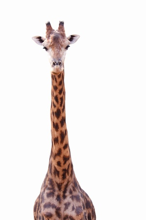 Female giraffe isolated on white background Stock Photo