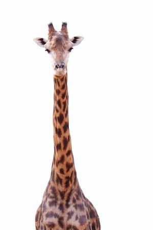 Female giraffe isolated on white background Imagens