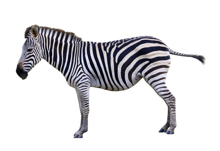 burchell: Zoo single burchell zebra isolated on white background Stock Photo
