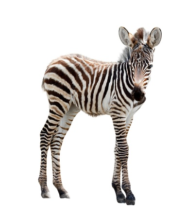 Young burchell zebra on white background