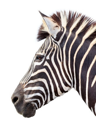 burchell zebra head on white background photo