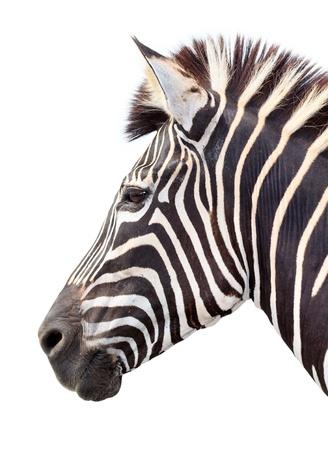 Burchell Zebra Kopf auf weißem Hintergrund Standard-Bild - 13870130
