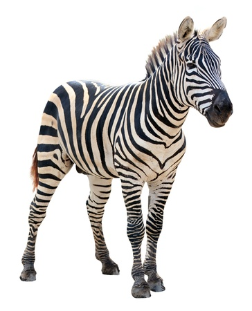 burchell zebra on white background photo